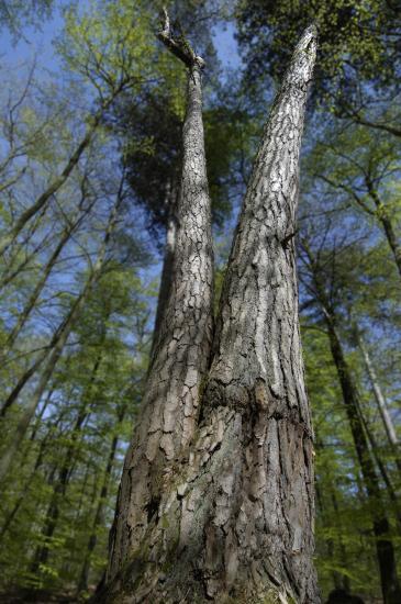 Pin noir greffé sur pin sylvestre - Forêt de Fontainebleau