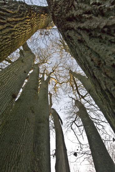 Cépée de chênes - Ferrières