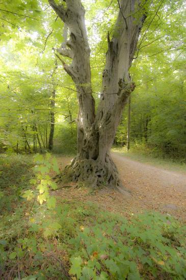 Charme - Bois de la Rochette