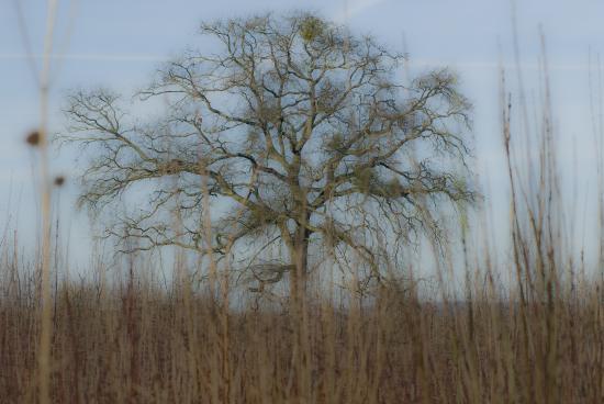 Chêne guité - Les Ormes-sur-Voulzie