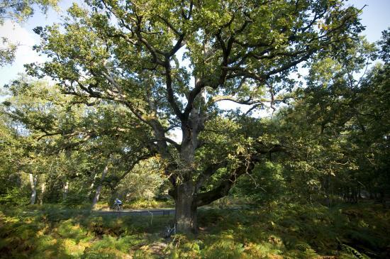 "Chêne sessile ""Sully""- Forêt de Fontainebleau"