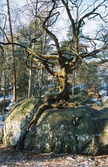 """Chêne du """"Rocher Canon"""" - Forêt de Fontainebleau"""