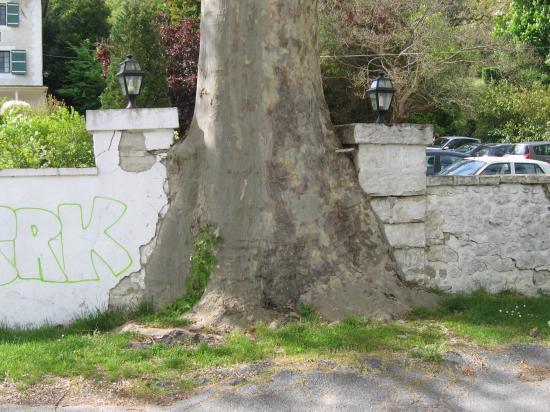 Platane - Samois-sur-Seine - 2001