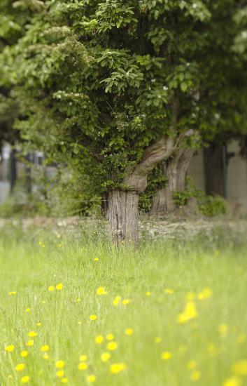 Néflier greffé sur aubépine - Chailly-en-Brie