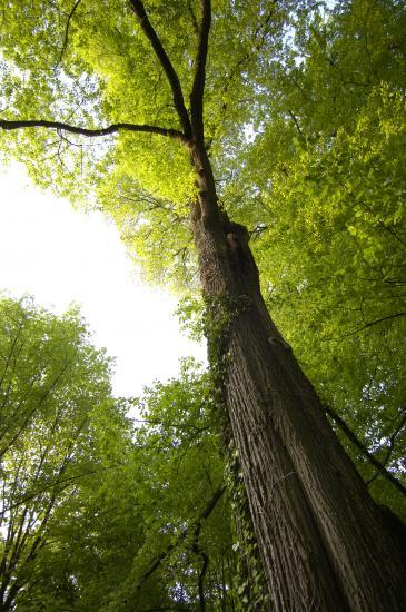 Orme rescapé - Forêt de Fontainebleau