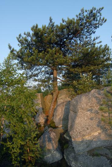 Pin plus fort que le roc - Forêt des trois Pignons