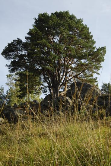 Pin sylvestre d'Apremont - Forêt de Fontainebleau