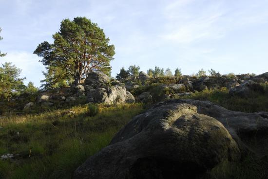 """Pin sylvestre """"bas branchu"""" d'Apremont - Forêt de Fontainebleau (Platières)"""