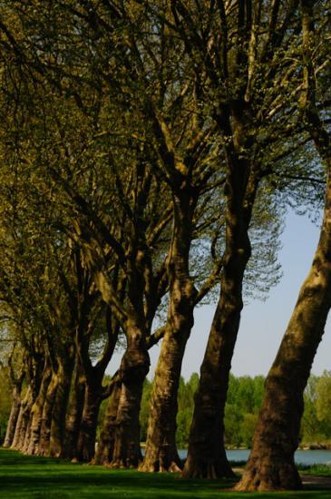Mail de platanes - Bray-sur-Seine