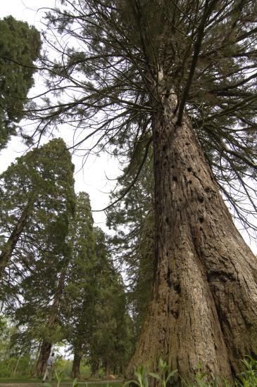 Allée de séquoias géants - Ferrières-en-Brie