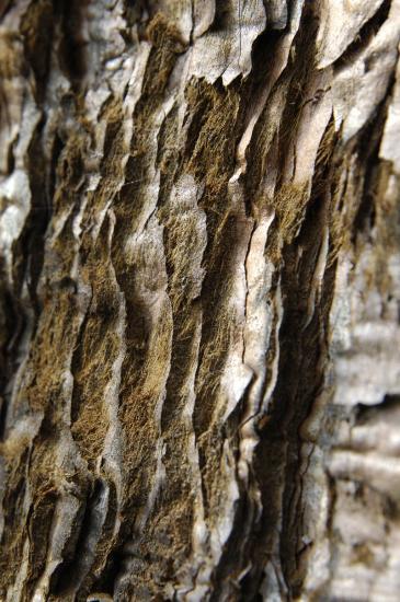 Séquoia géant