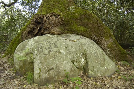 Chêne Millet - Forêt Fontainebleau