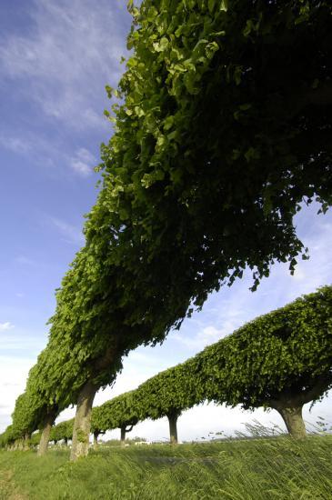 Rideau de tilleuls - Yèbles