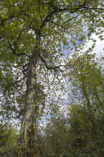 Alisier de Fontainebleau