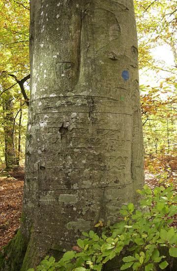 Hêtre témoin de l'hiver glacial de 1879 - Forêt de Fontainebleau